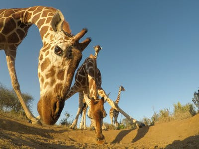 Reticulated Giraffe In Samburu Kenya