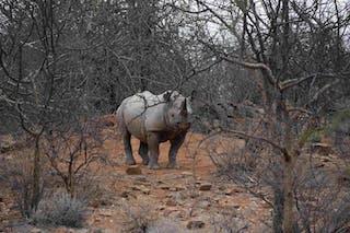 Rhino Tracking Normand Theroux Loseku