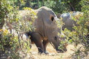Rhino Tracking  Amalinda  Lodge