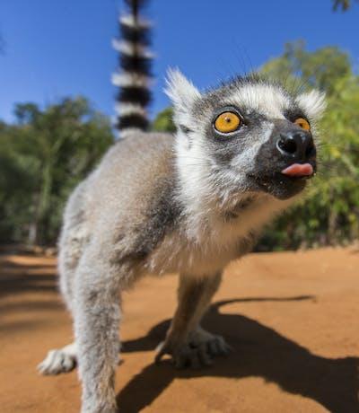 Ring Tailed Lemur In Madagascar