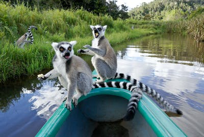 Ring Tailed Lemurs On Lemur Island