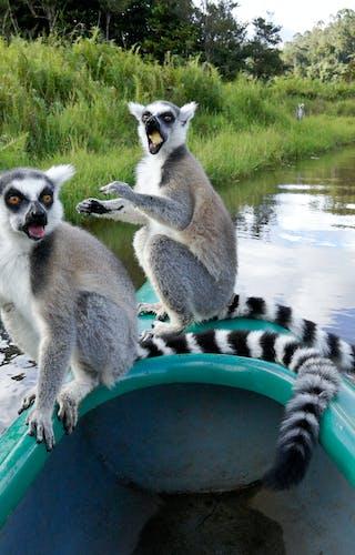 Ring Tailed Lemurs On Lemur Island