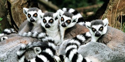 Ringtail Lemur Group