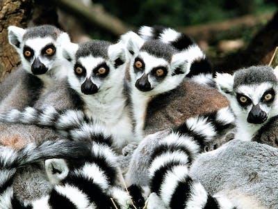 Ringtail Lemur Group