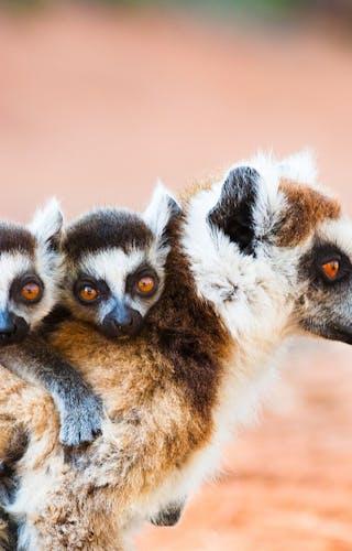 Ringtailed Lemurs In Berenty Reserve Copy
