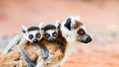 Ringtailed Lemurs In Berenty Reserve