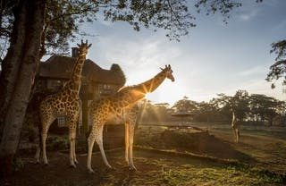 Rothschild Giraffes At Giraffe Manor