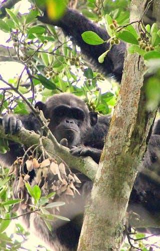 Rubondo Island Chimpanzee Habituation Experience