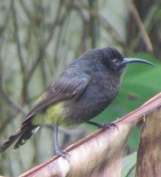 Sao Tome Giant Sunbird Lavinia Burnham