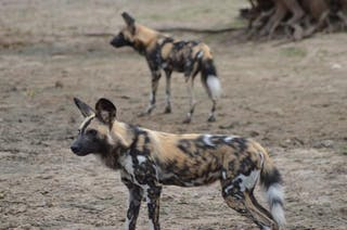 Selous Wild Dogs  - Craig Kaufman