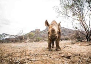 Seras Loijupu Rhino Calf By Stuart Butler