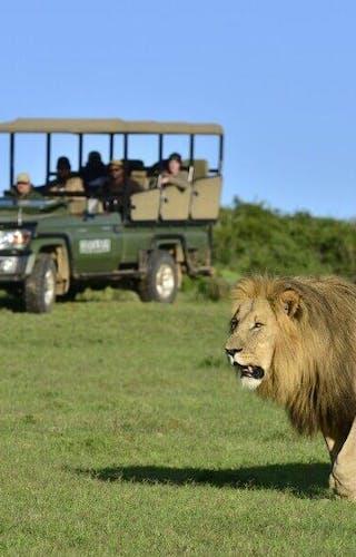 Shamwari Game Drive Lion