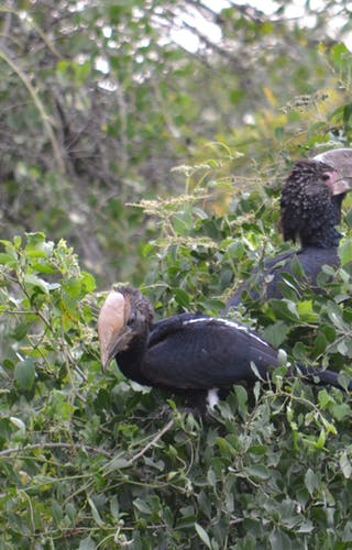 Silvery Cheeked Hornbills At Bale Mountain Lodge