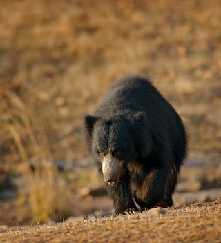 Sloth Bear At Ranthambore