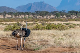 Somali Ostrich In Samburu National Reserve