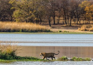 Tiger By A Lake At Ranthambore