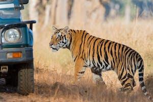 Tiger In  Kanha  National  Park
