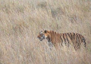 Tiger In Grasslands