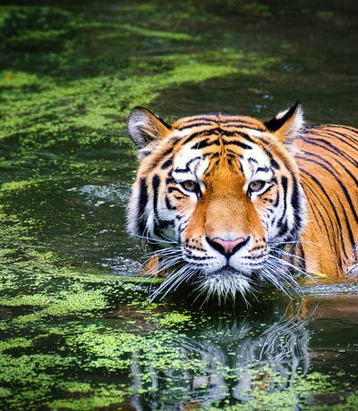 Tiger In The Jungles Of India