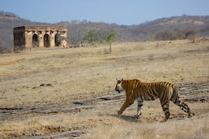 Tiger Spotting At  Ranthambore