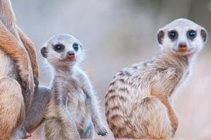 Tswalu The Motse Meerkats