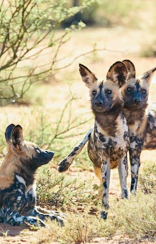 Tswalu The Motse Wild Dog