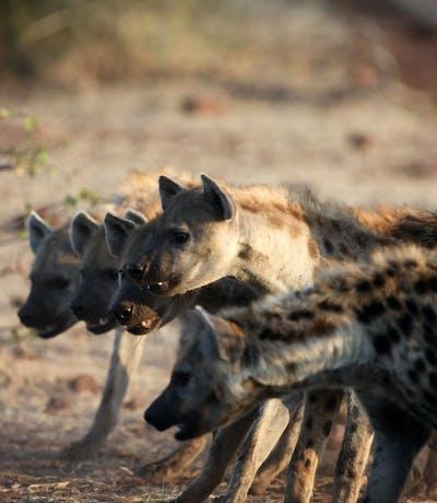 Tuli Safari Lodge Hyena