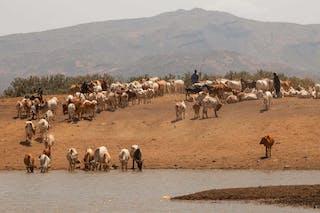 Turkarna Cattle