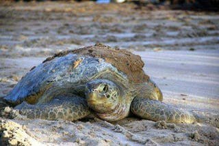 Turtle Adult Principe