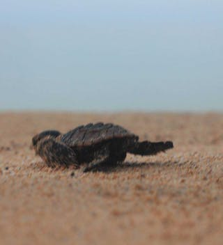 Turtle Baby  Principe Scampering