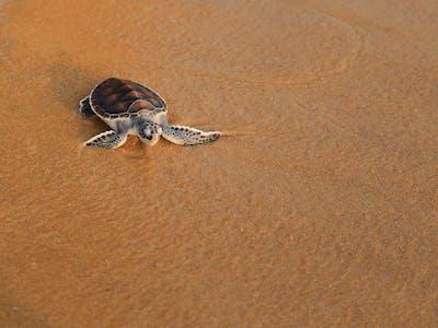 Turtle Baby Principe