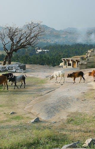 Village Cows