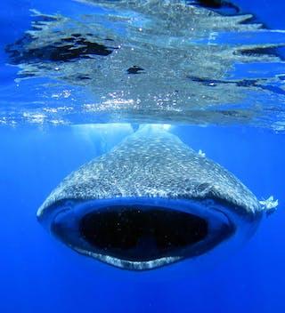 Whale Shark On St Helena