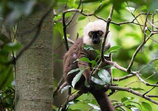 White  Fronted  Brown  Lemur  Mfl