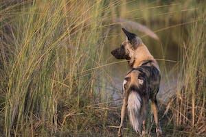 Wild Dog At Duba Explorers Camp