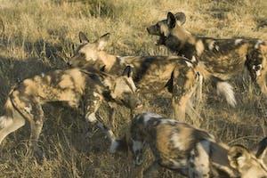 Wild Dog Pack Okonjima