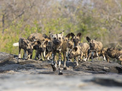 Wild Dogs Group