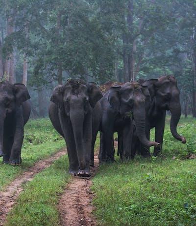 Wild Elephants Strolling At Nagarhole