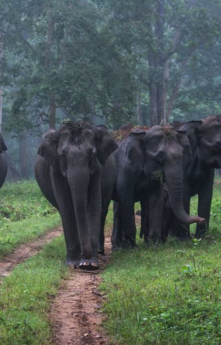 Wild Elephants Strolling At Nagarhole