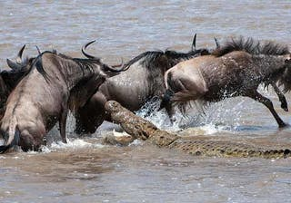 Wildebeest And Croc