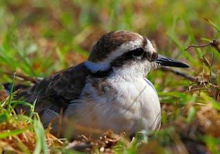 Wirebird Sitting On Nest In St Helena