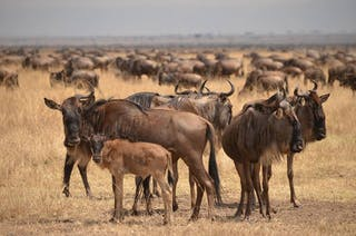 Young Wildebeest Taken From Asiliaafrica Com No Credit