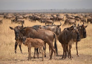 Young  Wildebeest