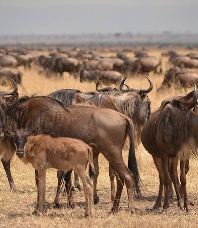 Young  Wildebeest