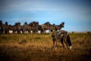 King Lewanika Wildlife Side Striped Jackal
