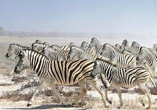 Zebras Migrating 1024X576