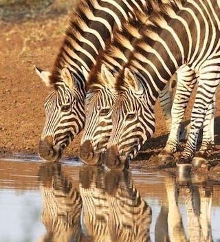 Zebras At  Kruger