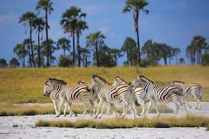 Zebras In Makgadikgadi Pans