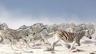 Zebras In Nxai Pans