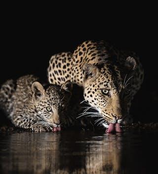 Zimanga Overnight Hide Leopards